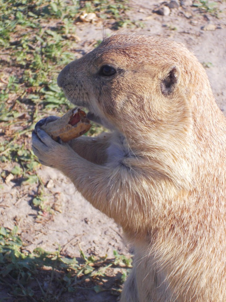 Ranch store, prairie dogs, sightseeing in south Dakota, what to do in south Dakota, badlands national park, family fun in south Dakota, road trip through south Dakota, where to feed prairie dogs