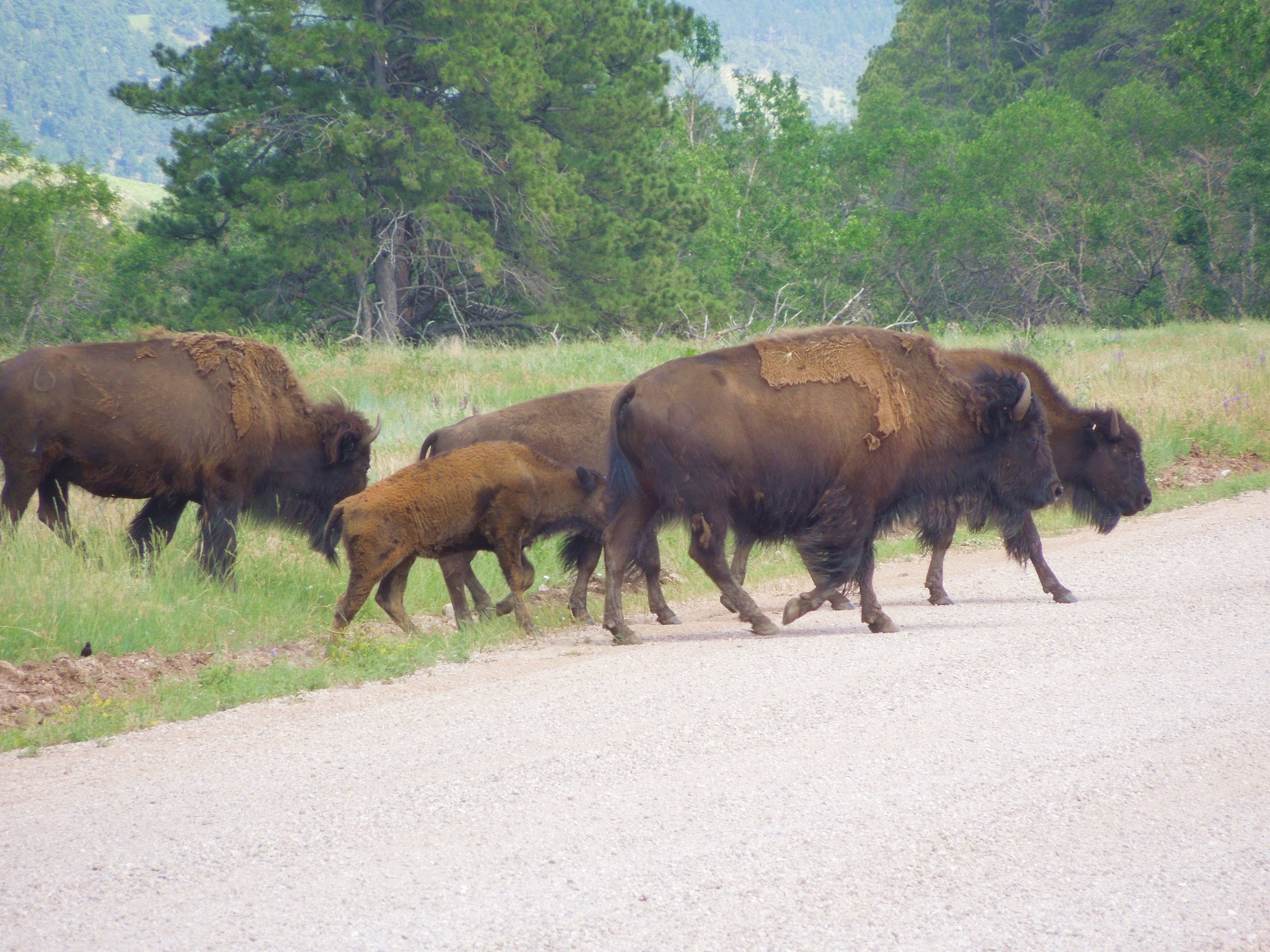 Wildlife adventures in custer state park the whiskey wanderer south dakota north america united states custer state park things to do sciox Images