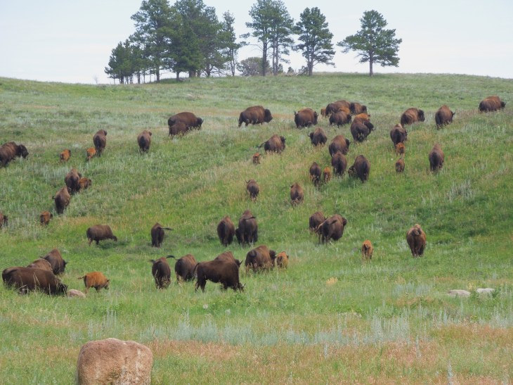 South Dakota, north America, united states, custer state park, things to do in south Dakota, things to see in south Dakota, best place to see wildlife in south Dakota, where to see buffalo in real life, wild burros, chuckwagon dinners, family fun, camping in south Dakota, cowboy bars in south Dakota, south Dakota tourism, south Dakota travel, travel